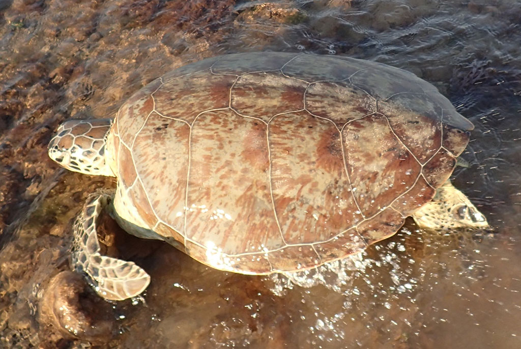 Green Turtle with mottled colouring and high-domed shell